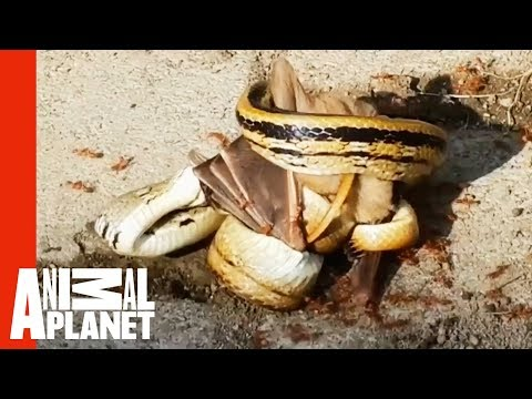 Snake Ambushes Bat While An Army Of Ants Attack   Weird, True & Freaky