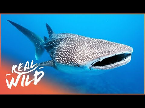 Whale Sharks: Meet The Gentle Giants Of The Sea! | The Blue Realm