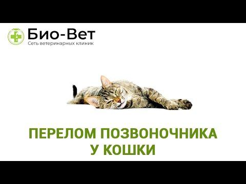 Вопрос: Как помочь кошке, если она сломала плечо?