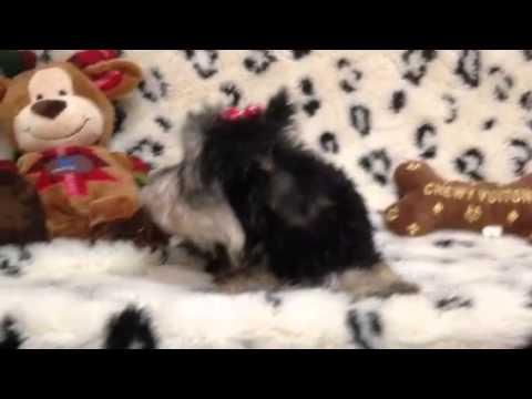 Beautiful, petite black and tan Morkie puppy