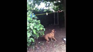 Boxer Staff Cross Dog Snappin Washing Line