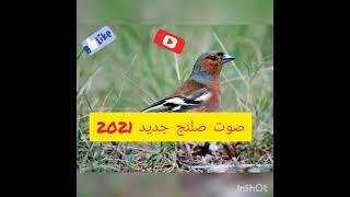 صوت طائر الصلنج جديد 2021