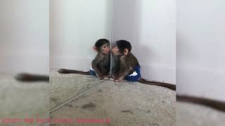 Cute Monkeys Part #83 - Baby monkey's autistic moments such as watching TV and mirroring alone