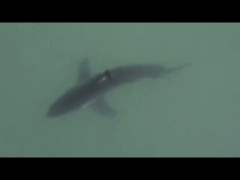 Great white shark spotted off coast of San Diego beach