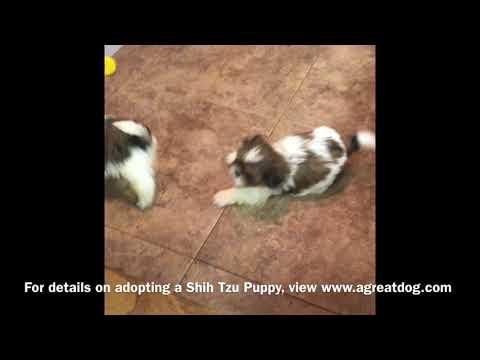 Shih Tzu Female Puppies