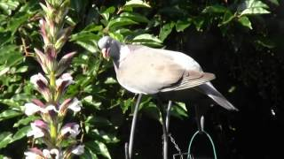 Wood Pigeon By Our Feeder