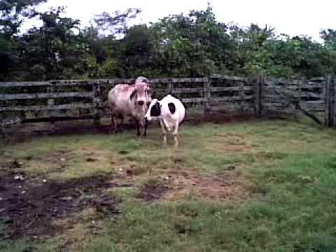 vaca en celo