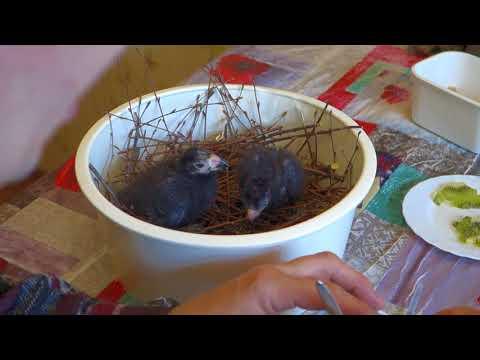 Кормление птенцов фиолетового турако 2 Птенцам 10 и 8 дней.