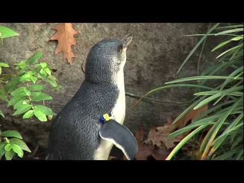 Little Penguin Love Songs - Cincinnati Zoo