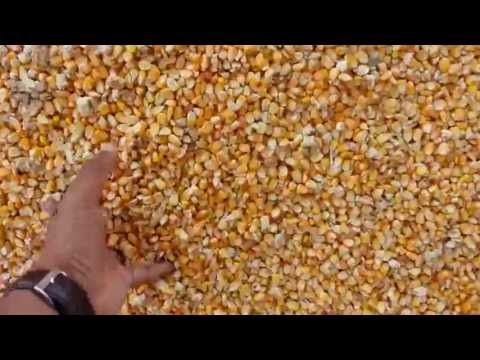 yellow maize for animal feeding - Skype - sujit.jaysingh