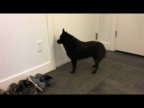 Schipperke dog greets his mom after two days away!