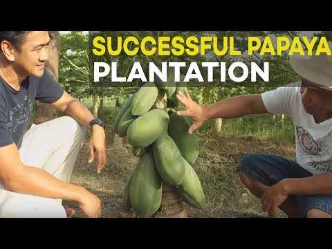 Papaya plantation of former OFW : Successful agribusiness in the Philippines