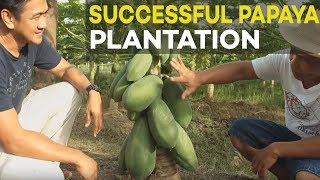 Papaya Farming: Successful Papaya Plantation of Former OFW - Farming is Better than Working Abroad