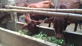 Mô hình chuồng trại chăn nuôi bò thịt tại Bến Tre