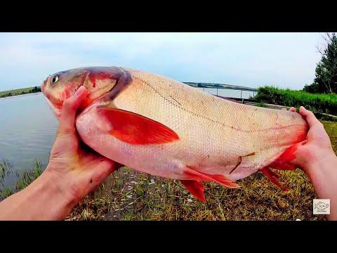 Ловля толстолоба (толстолоб 4,2 кг).Рыбалка.Fishing
