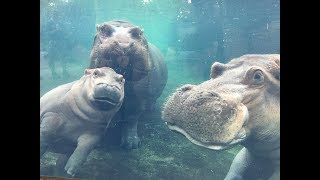 Cincinnati Zoo: Henry, Fiona's father, has died