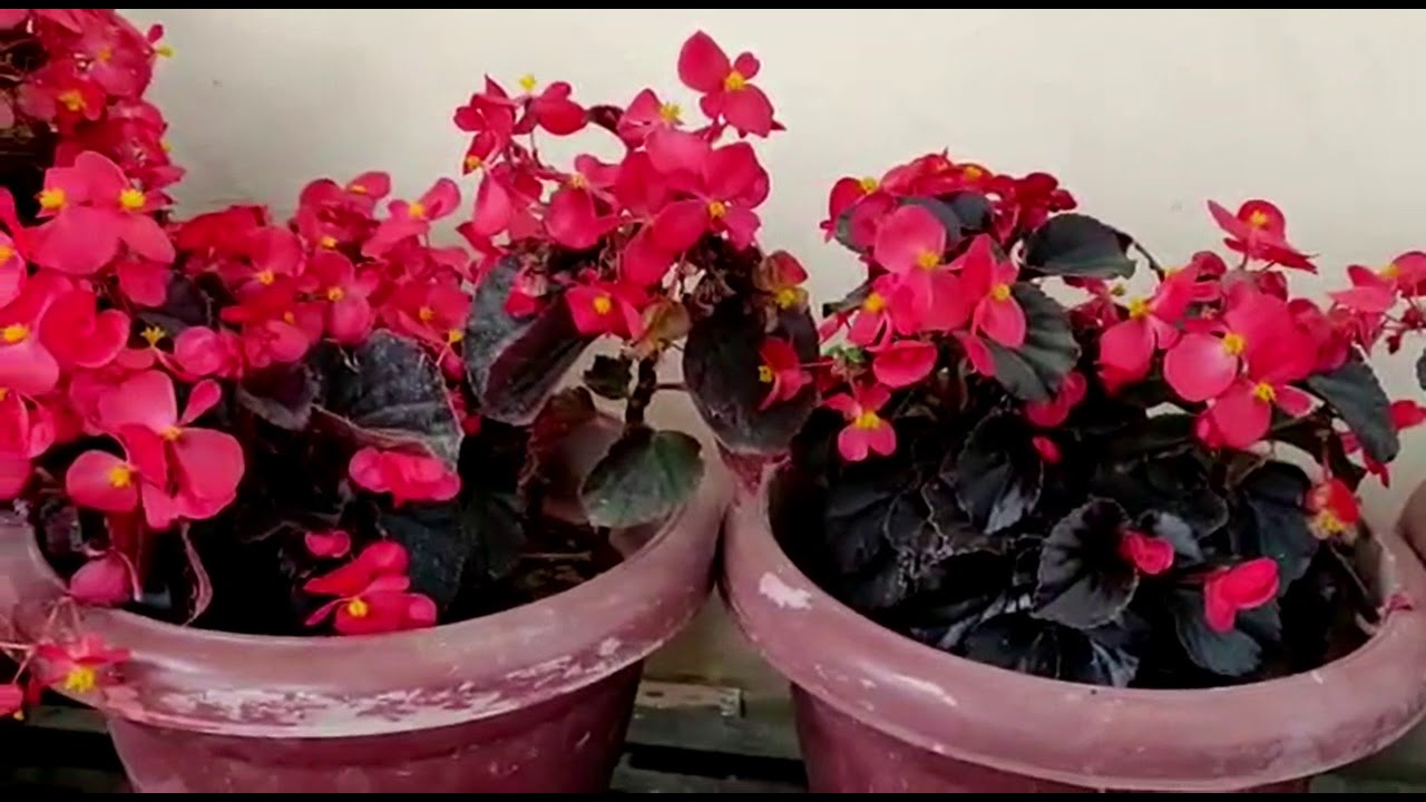 Begonia (With Long Leaves) - Plant