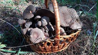 Маховики , дубовики октябрь 2018 . Где я собираю грибы для домашней консервации ?
