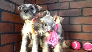 Mini Schnauzer Puppy For Sale In San Diego