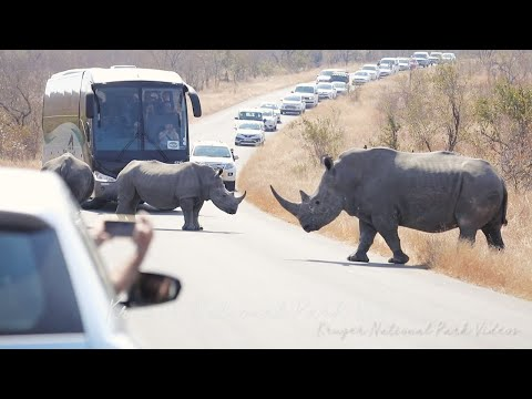 Rhino Traffic Jam Kruger National Park