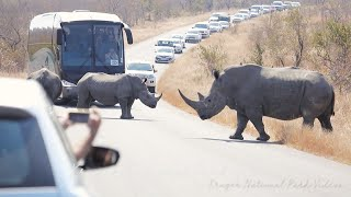 Rhino Traffic Jam Kruger National Park | Wildlife Sightings Today.