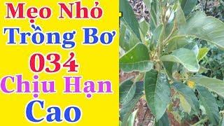Hướng Dẫn Cách Trồng Bơ Và Chăm Sóc Bơ 034 Chịu Hạn Hán Tốt Phát Triển Nhanh| Hoang tuan TV
