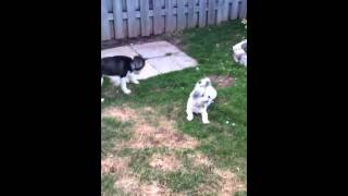 Husky Playing With Mixed Poodle