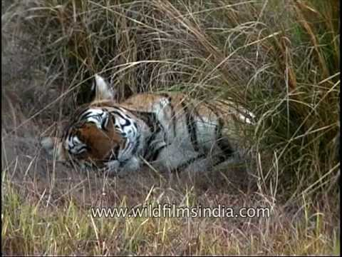 Tiger has a peaceful cat-nap in the tall grass!