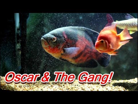 Red Tiger Oscar, Red Mammon, Pink Tail Chalceus Cichlids