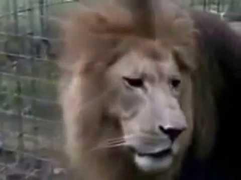leão clama  YHWH