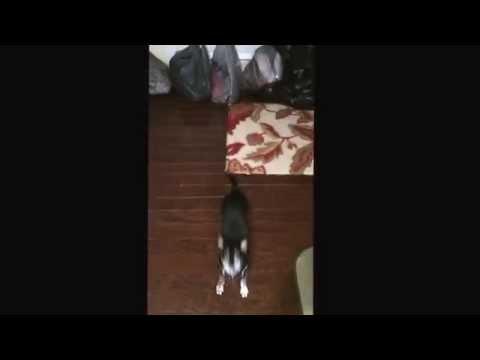 Tiny Dog Tricks