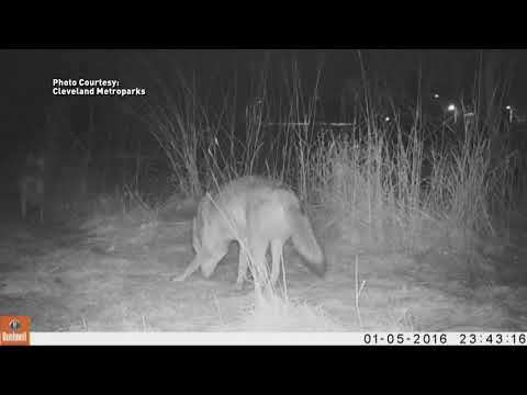 What's with all the wildlife roaming around Northeast Ohio?