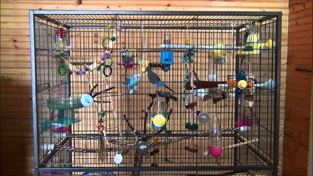 Parakeets chirping singing kissing and playing around ...