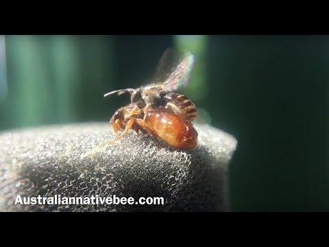 Australian Stingless Bees Mating 🐝 thumbnail