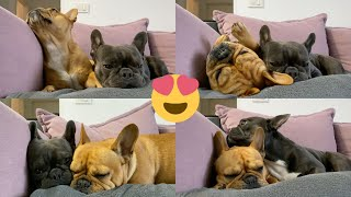 Cute Frenchies Sleeping Together