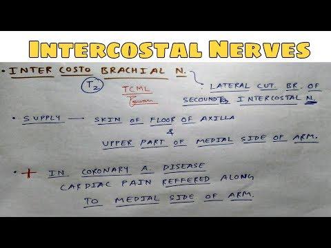 Intercostal Nerve on Wikinow | News, Videos & Facts