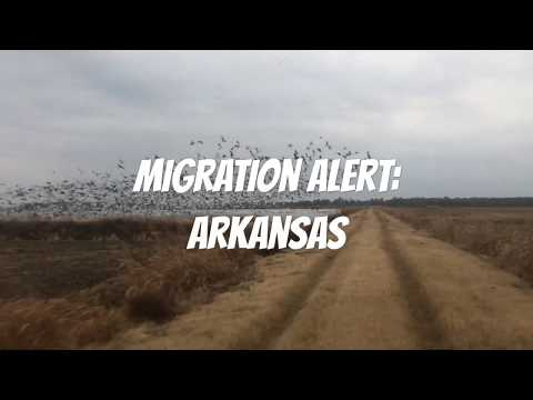 Migration Alert:  Arkansas