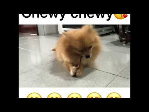 Cutest Pomeranian Dog chewing on treat(must watch!!)