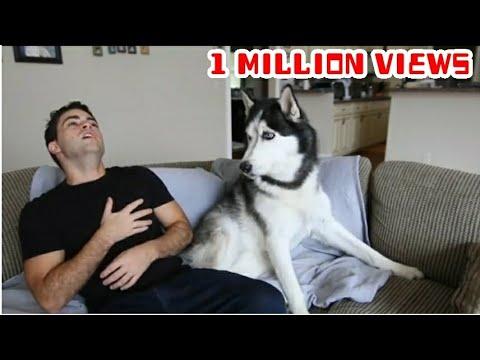 Fake heart attacks husky dog reactions 😂