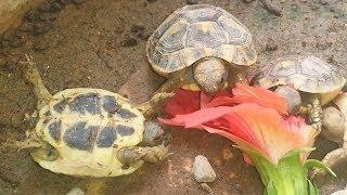 Прожорливые черепахи