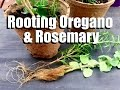 How to Have an Endless Supply of Oregano and Rosemary - Easy Propagating Tips