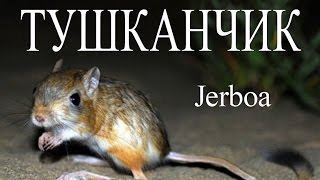Тушканчик — Jerboa