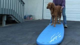 Dog Surfing: Teach Your Dog To Surf - Intermediate Board Work