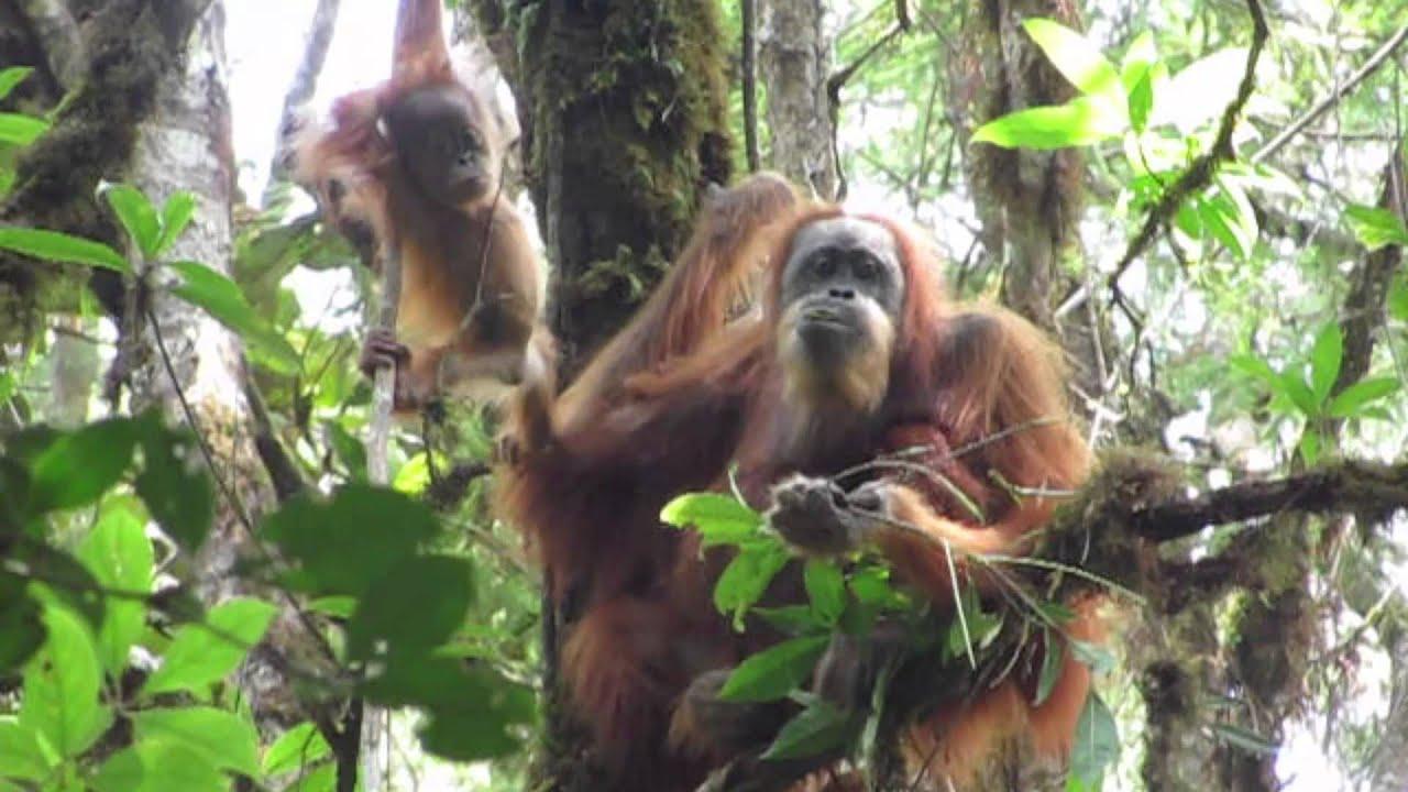 orangutan research paper Research paper topic help with report writing research paper writing guide college paper writing service literature review of orangutan foundation.