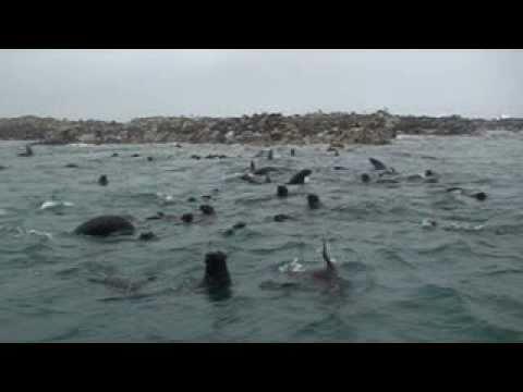 dyer island - gansbaai , cape fur seals in shark alley , great white shark
