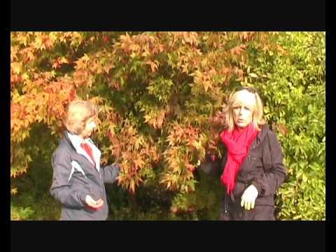 Acer Palmatum Heptalobum Osakazuki Youtube