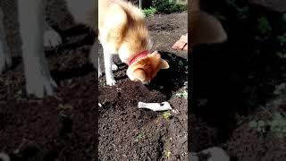 видеоурок по закапыванию косточки носом (Акита ину)