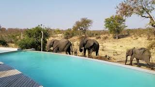 How the elephants are roaming near swimming pool viral video