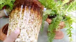 Boston Fern Repotting Into Larger Pots