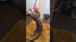 Бенгальские котята 1 месяц и 1 неделя